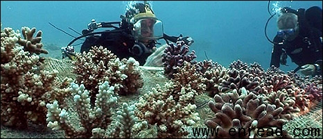 Coral reefs do more than look pretty - they are nurseries for many fish